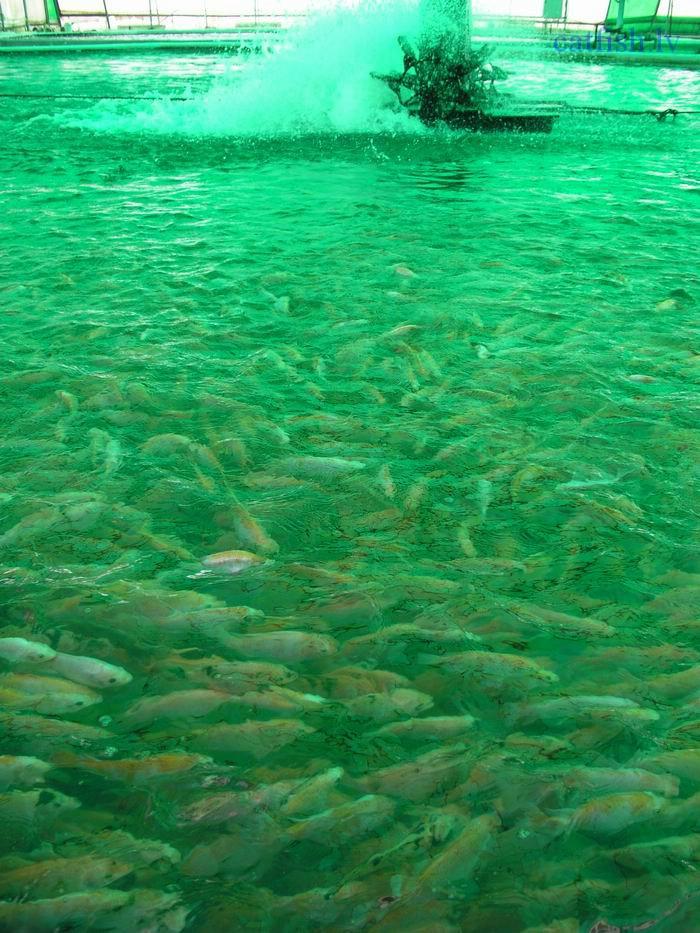 Fish farming techniques for Tilapia fish farming